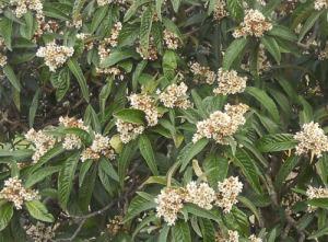 Någon som vet vilka bär/frukter, som växer på det här trädet? Det odlas på många håll.