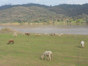 Utmed Guadina betar fårhjordar på den portugigiska sidan