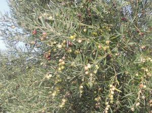 Riklig skörd av oliver utmed vägen