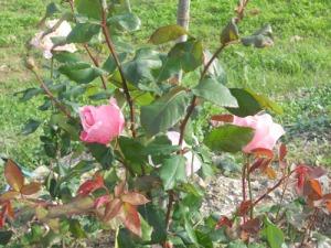 Inte bara kryddväxter utan även vackra rosor blommade intill caféet