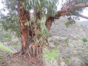 Eukalyptusträdets bark flagnar av i långa strimlor