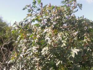 Ricinoljebuskarna har svällande knoppar i väntan på våren