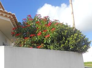 Julstjärnor och hibiskus växer som höga buskar