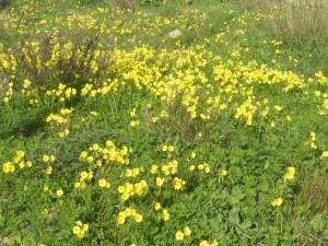 """Nu blommar """"gulklockorna"""" som vackrast. Med sina soligt leende blommor tar de över många grönområden både i Spanien och Portugal."""