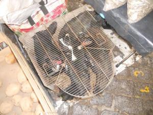 Hanteringen av djur är inte alltid den som vi är vana vid vare sig i Spanien eller Portugal. Här trängs fyra myskankor i en trång bur.