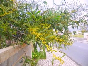 Mimosans knoppar sväller för varje dag