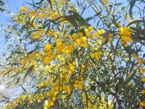 Nu slår den vackraste mimosan ut i sin fagraste blom