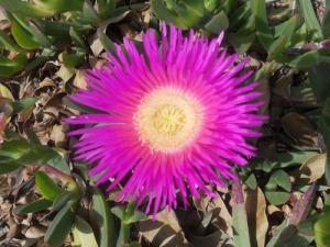De här vackra fetbladsväxterna blommar för fullt i stora mattor. Visst är blommorna vackra!