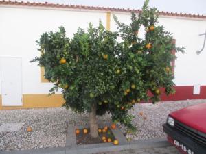 """Försök aldrig att """"palla"""" frukt från sådana här träd! Det är bara prydnadsapelsiner och de är beska."""