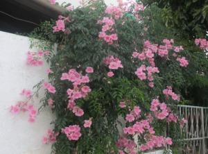 Den här vackra blommande busken ser man på många håll. Den skapar ett ha-begär hos mig!  :-)