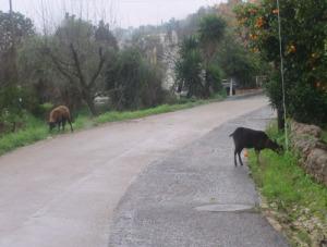 Här var det bara att väna tills fåret och geten hade bestämt sig för på vilken sida gräset var grönast.