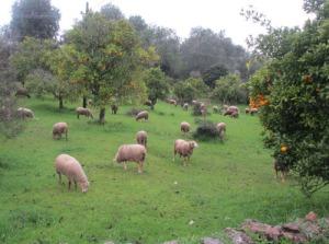 De övriga fåren och getterna höll sig snällt i apelsinlunden.