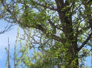 Ett av mandelträden med sina svällande gröna frukter