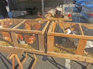 Levande höns säljs även här