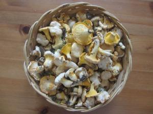 Det har varit och är fortfarande mycket gott om svamp i år. Här är årets första små knubbiga kantareller.