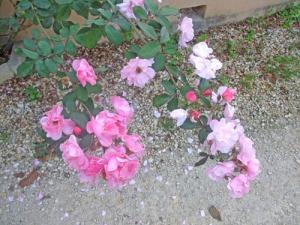 De här rosorna satte guldkant på min morgonpromenad