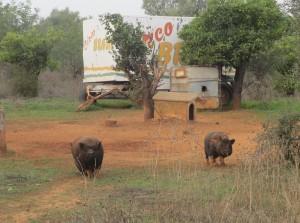 De två buksvinen kommer springande. Bakom dem syns en av vagnarna, som är kvar sedan senior Eugen hade cirkus.