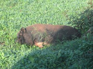 Buksvinet sov gott i solen