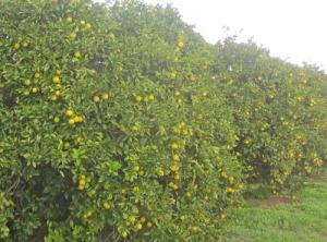 Mandarinskörden ser ut att bli bra, även om det dröjer ett tag innan de mognat helt.