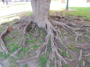 Vilka härliga rotsystem på dessa gamla träd, som vi har som krukväxter i Sverige!